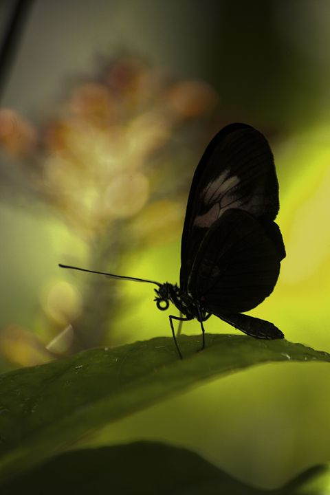 Silhouette of Butterfly - ArtByLaurenBritz