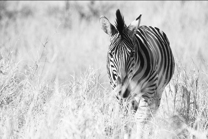 Zebra in the Wild - front view - ArtByLaurenBritz