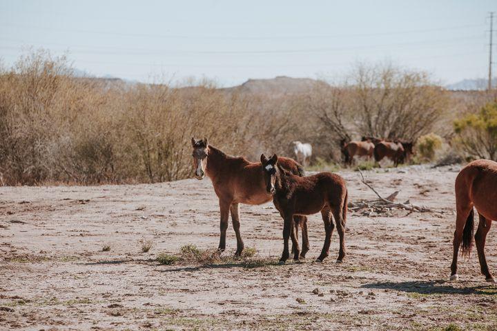 Wild Mustangs Gila River - Anita McLeod Photography