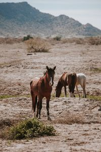 Wild Mustangs in Gila River