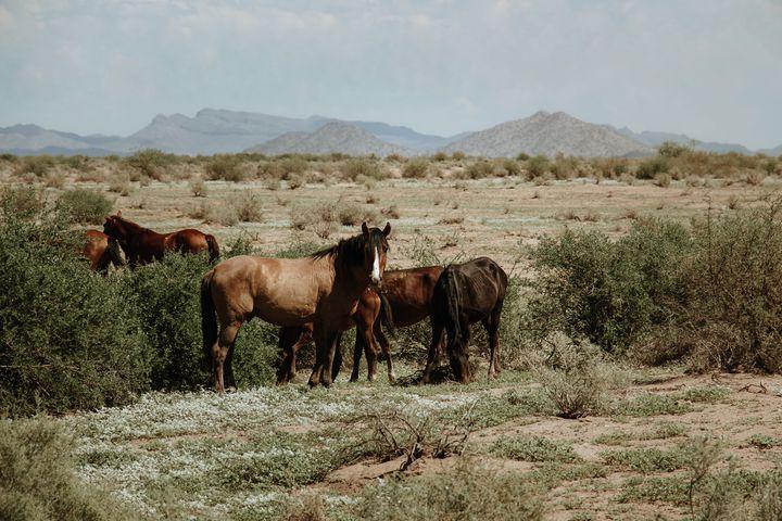 Maricopa Arizona WIld Horses - Anita McLeod Photography