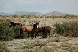 Maricopa Arizona WIld Horses
