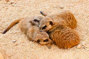 three meerkats from kalahari