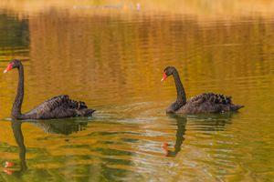 a rare exemplary of black swan exsis