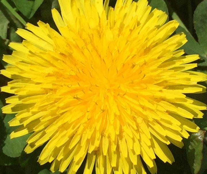 Dandelion - Giart