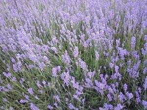 Lavender - GI ART