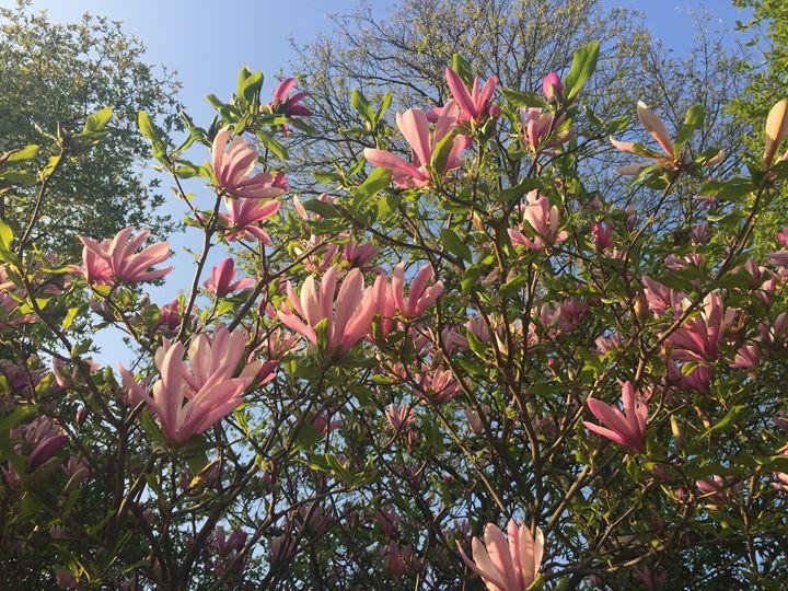 Magnolia - Giart