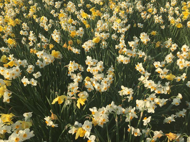 Daffodils - GI ART