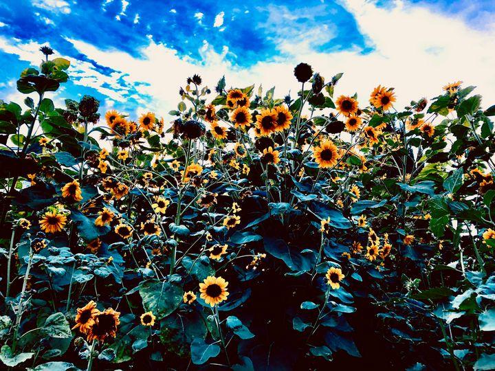 Sunflower Forest, California - Sara Anne Love