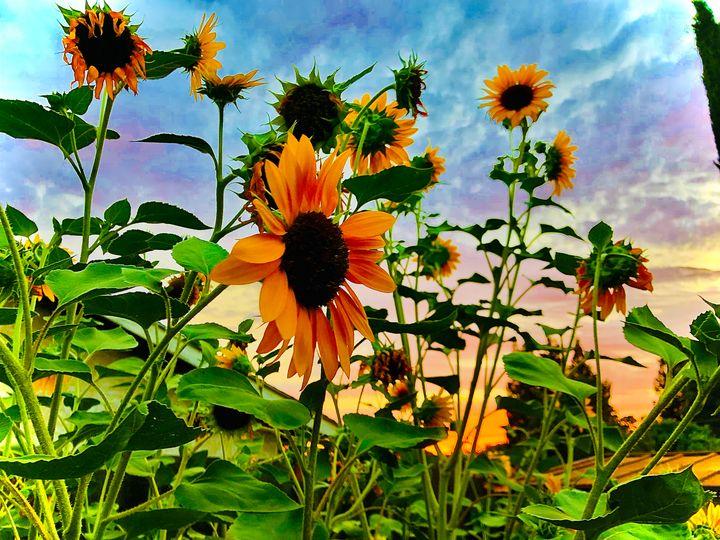 Fading Sun Falls Behind Sunflowers - Sara Anne Love