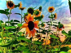 Fading Sun Falls Behind Sunflowers