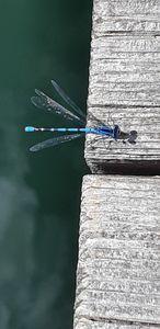 Gardom Lake Dragonfly