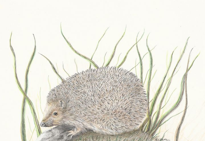 Hedgehog - Steve Allison Art