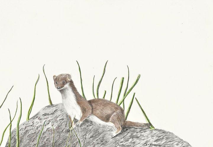 Weasel - Steve Allison Art