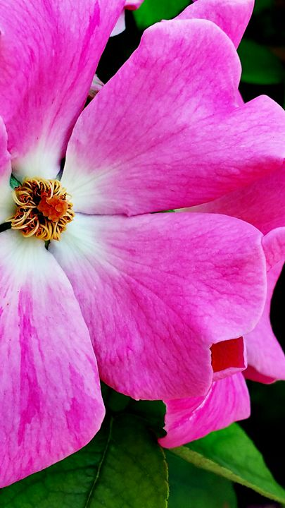 Pink flowers - Photo Speaks Photography