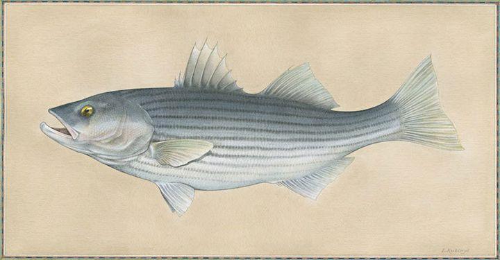 Striped Bass - Laszlo Kubinyi