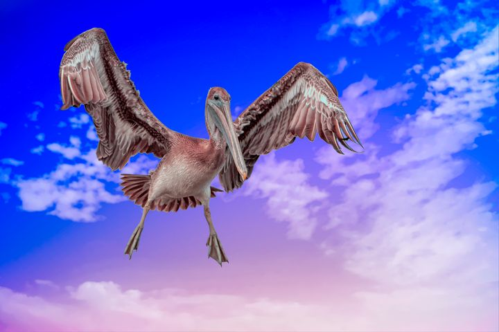 Brown Pelican Landing - Nature Photography by Richard Higgins