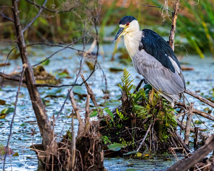 Black-crowned Night Heron - Nature Photography by Richard Higgins