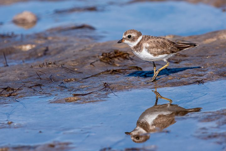 Semipalmated Plover - Nature Photography by Richard Higgins