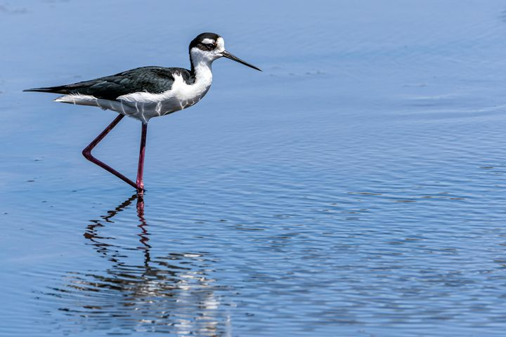Black-necked Stilt - Nature Photography by Richard Higgins