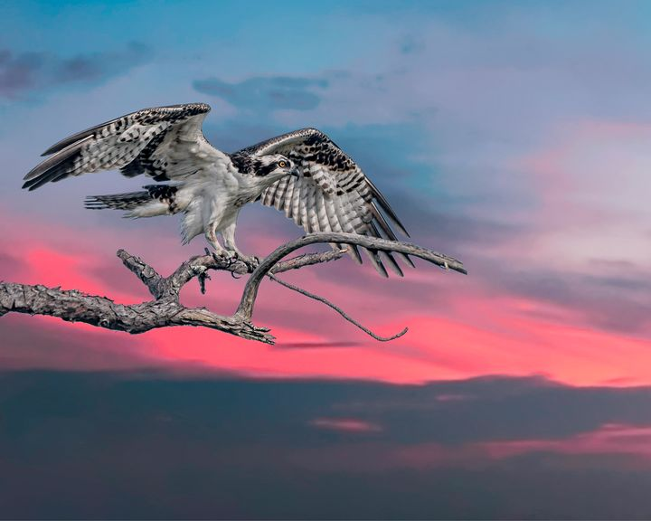 Osprey in Color - Nature Photography by Richard Higgins
