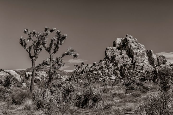 Joshua Tree - Nature Photography by Richard Higgins