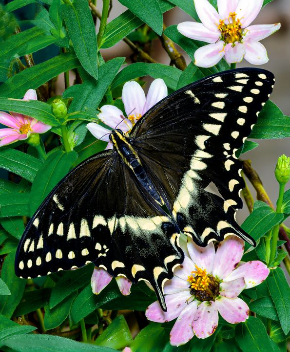 Giant Swallowtail Butterfly - Nature Photography by Richard Higgins