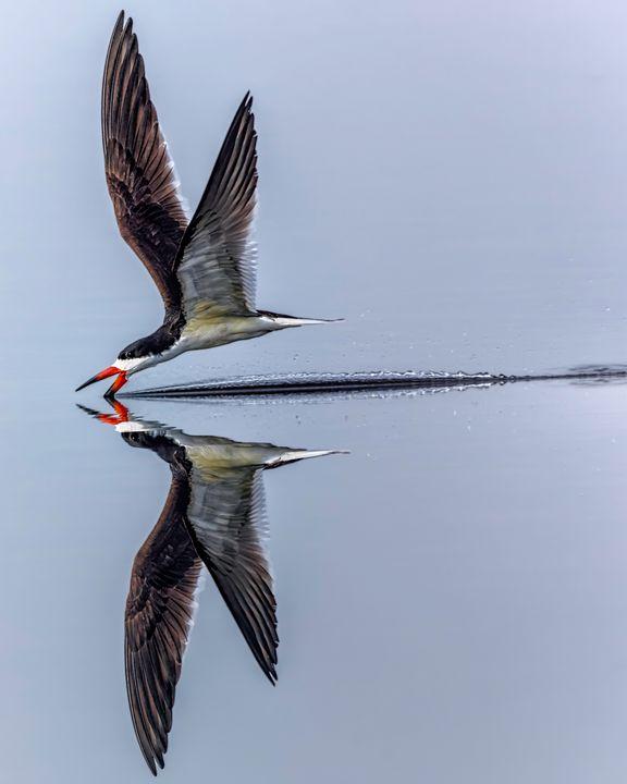 Black Skimmer Skimming - Nature Photography by Richard Higgins
