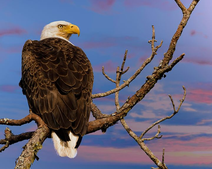American Bald Eagle - Nature Photography by Richard Higgins