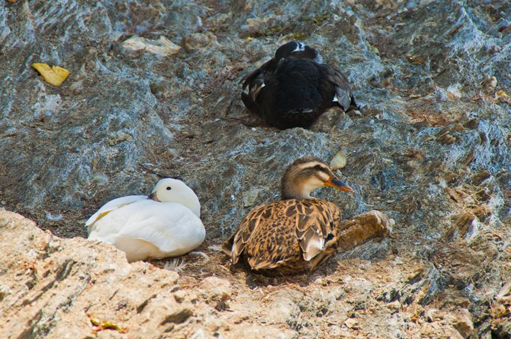 3 duck resting - Gabor Szabo photography