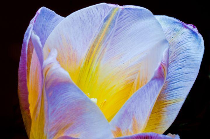 Tulip with black backround - Gabor Szabo photography