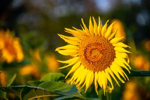 Here Comes the Sunflower
