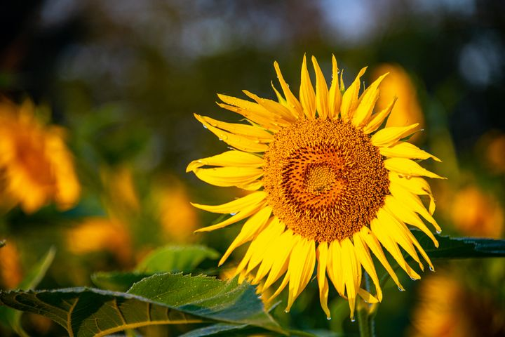 Here Comes the Sunflower - Doug Wielfaert Photography
