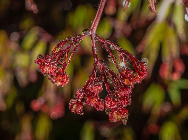 Japanese Red Maple Spring Bud - Doug Wielfaert Photography