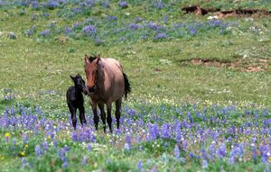Newborn Wild Mustang in Lupines