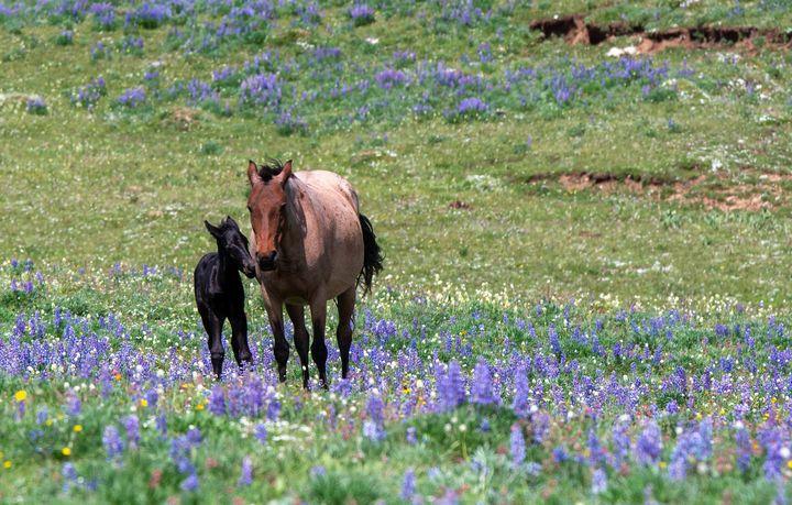 Newborn Wild Mustang in Lupines - Doug Wielfaert Photography