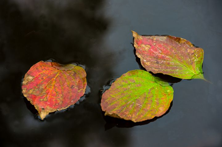 Autumn Dogwood Leaf Trio - Doug Wielfaert Photography
