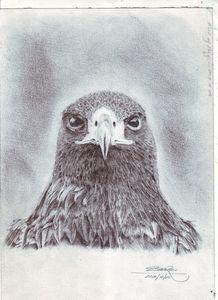 Pencil art,hawk portrait