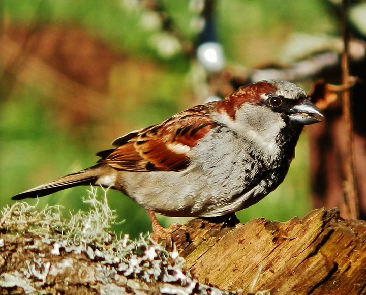 MALE HOUSE SPARROW - VLeeORIGINALS