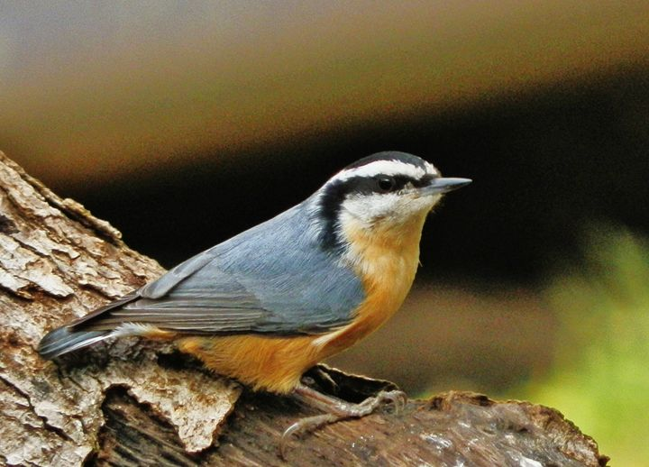 RED-BREASTED NUTHATCH - VLeeORIGINALS
