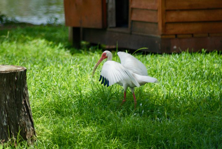 American White Ibis in grass - Shelley Photography