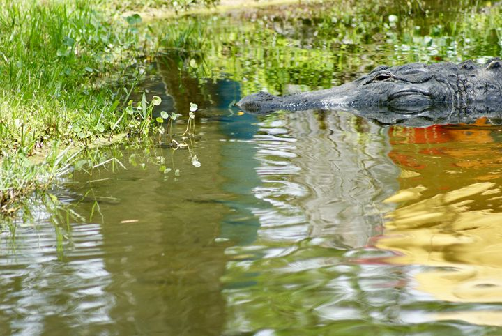 Alligator Head - Shelley Photography