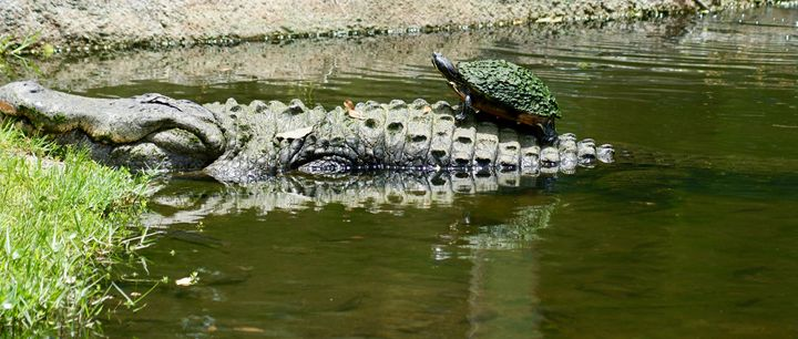 Alligator and Turtle - Shelley Photography