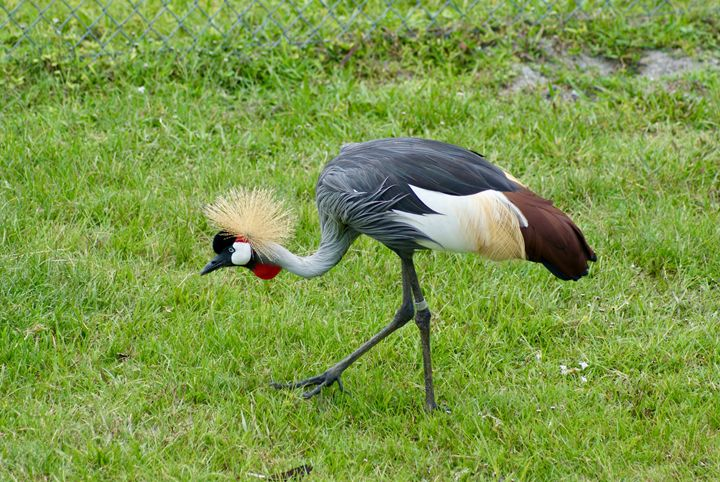 East African Crested Crane - Shelley Photography