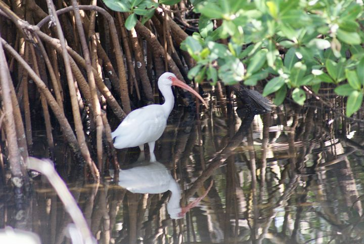 White Ibis Reflection - Shelley Photography