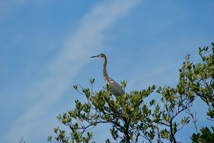 Blue Heron perched high - Shelley Photography