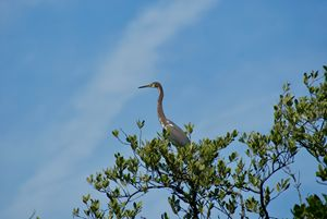 Blue Heron perched high