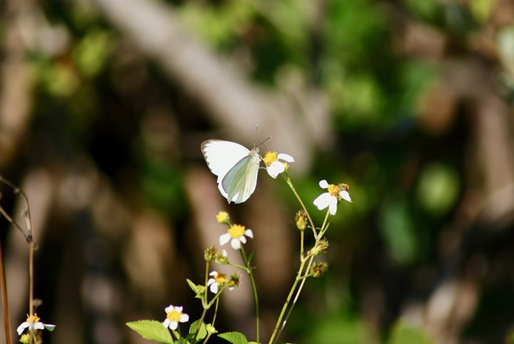 White Butterfly - Shelley Photography