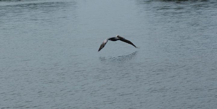 Pelican in Flight - Shelley Photography