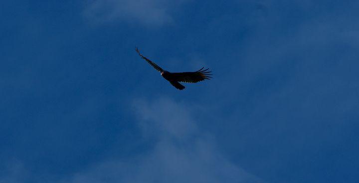 Black Hawk in Flight - Shelley Photography